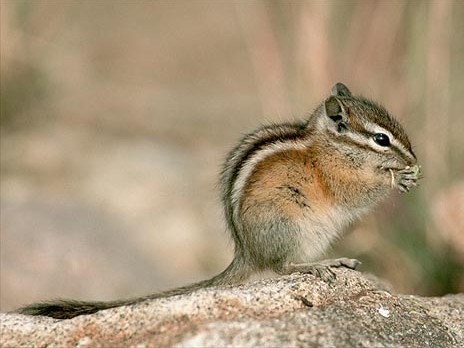 CO Mammals Least chipmunk2.jpg